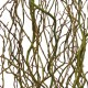 "Curly Willow - ""FRESH"" - Natural Tips (9-18"" Tall) x 100 Stems per case"