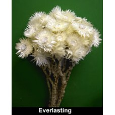 "Strawflower/Everlasting Flower - Natural White - Approx 13"" Long - SOLD CASE ONLY 20 BU"