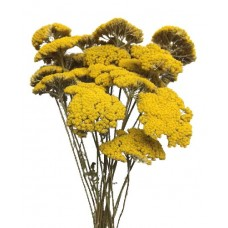 Achillea Yarrow-Natural Gold - 4oz bunch