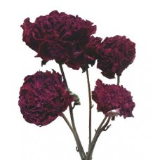 Peonies - Burgundy  - Natural - (SOLD  Case Only) In Stock