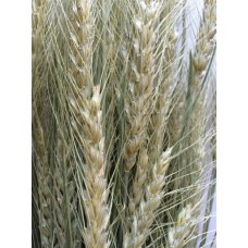 Wheat - Natural Very Lt Green - Bearded - 4oz - ON SPECIAL