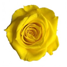 Preserved Rose Heads - Canary Yellow - 8 Per Box - 2 boxes available and more on the way!