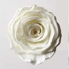 Preserved Rose Heads - Perfect Ivory- 3 Per Box