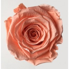 Preserved Rose Heads - Lt  Peach* - 3 Per Box